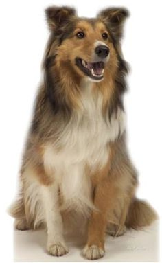 Collie Dog Standup Cardboard Cutouts - at AllPosters.com.au