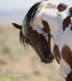 Pride of Picasso Fine Art Wild Horse Photograph by WildHoofbeats