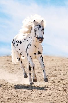 Appaloosa Pony Runs Gallop In Dust Stock Image - Image of bridle, equine: 20255869 Caballos Appaloosa, Appaloosa Horses, Leopard Appaloosa, Breyer Horses, Horses And Dogs, Wild Horses, Most Beautiful Animals, Beautiful Horses, Poney Miniature