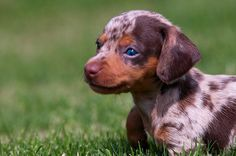 omg I want a #puppy #dachshund just like this!
