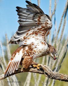 Ferruginous Hawk at the Raptor Free Flight In Tucson Arizona,   US - by Sharon Landis