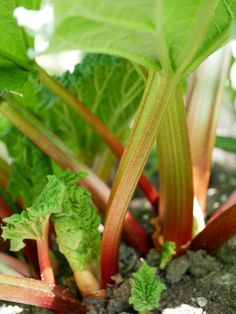 Rabarber - Diana's mooie moestuin Vegetable Garden, Gardening Vegetables, Diana, Veggies, Home And Garden, Stuffed Peppers, Fruit, Baking, Food