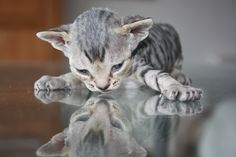 adorable #kitten looking at her reflection
