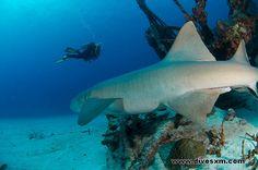 Huge male Nurse Shark