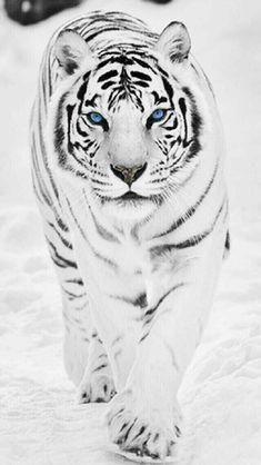 Tier Wallpaper, Animal Wallpaper, Majestic Animals, Animals Beautiful, Animals Amazing, Beautiful Creatures, Image Tigre, Tiger Fotografie, Tiger Spirit Animal