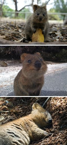 Quokka....the most adorable animal in the world. It's an Australian endangered animal. It's so cute!!!