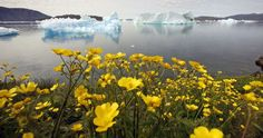 Wildflowers bloom on a hill overlooking a fjord filled with icebergs near the south Greenland town of Narsaq July 27, 2009. REUTERS/Bob Strong (GREENLAND ENVIRONMENT TRAVEL IMAGES OF THE DAY) - RTR264FU