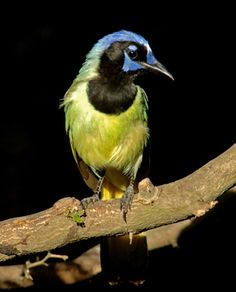 The green jay is as common in south Texas as the blue jay is in the northeast. However, one must visit south Texas to see one in the U.S.