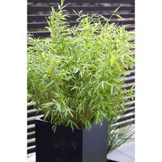 Bergbambu 'Bimbo' Krukstorlek: 23 cm Leveranshöjd: 50-60 cm Herbs, Plants, Oasis, Sky, Heaven, Heavens, Herb, Plant, Planets