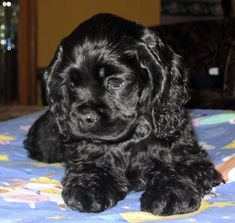 A list of the cutest black cocker spaniel pictures. Are you in the mood to see some adorable photos of black cocker spaniels? This is a list of some of the cutest black cocker spaniel photos. Cute Dogs And Puppies, I Love Dogs, Pet Dogs, Dog Cat, Doggies, Black Cocker Spaniel Puppies, American Cocker Spaniel, Cockerspaniel, Cute Baby Animals