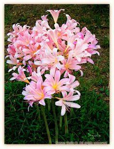 Growing Tips  Amaryllis Belladonna Lily at Yard and Garden Secrets Blog
