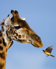 giraffe~bird encounter.  How awesome is this?