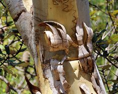 https://flic.kr/p/ijWH1t | Scribbly gum patterns | Scribbles and peeling bark on a scribbly gum (Eucalyptus haemastoma) in Manly Dam.