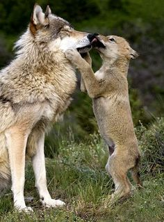 """the-smiling-wolf: """" """" - wolfis ♡ - Hunde Cute Baby Animals, Animals And Pets, Funny Animals, Wild Animals, Nature Animals, Wolf Photos, Wolf Pictures, Nature Photos, Wolf Love"""