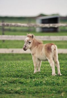 ❤❤❤ Miniature horse, so cute! All The Pretty Horses, Beautiful Horses, Animals Beautiful, Farm Animals, Animals And Pets, Cute Animals, Funny Animals, Cute Creatures, Beautiful Creatures