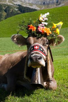 Travel Inspiration for Switzerland - Swiss cow