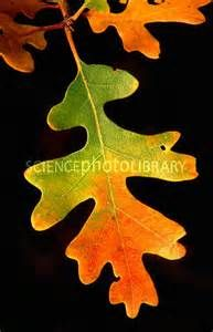oak leaves in autumn - Yahoo Image Search results