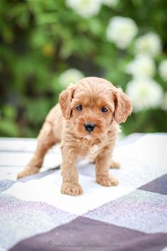 Pin On Cavapoo Puppies