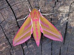 A striking example of the elephant hawkmoth