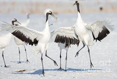Red-crowned crane are an endangered symbol of Japan. They are found to winter in Hokkaido Japan and go between there and Siberia, Russia in other times of the year. These giant birds are known for their elaborate dances.