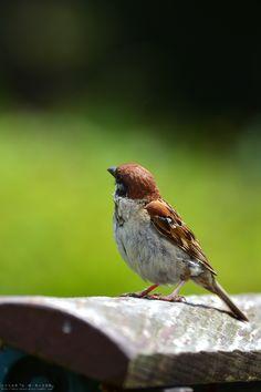 Sparrow #birds