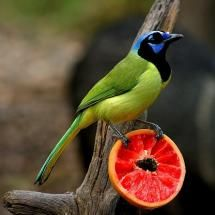 green jay with ruby grapefruit
