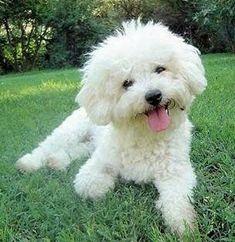 Cross stitch chart pattern kennel club Bichon Frise White dog Clipped