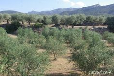 Paisatges d'oliveres