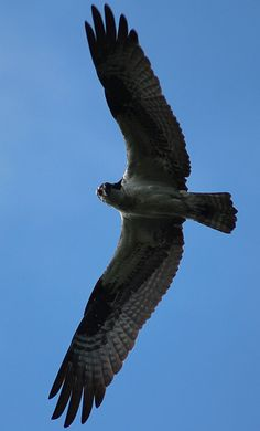 Osprey...see allot of these around here.  The sounds they make are incredible.