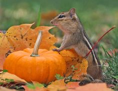 Pumpkin Picking /  Chipmunk's dinner, he found one just his size.