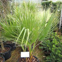 Washingtonia filifera - (Californian Cotton Palm)