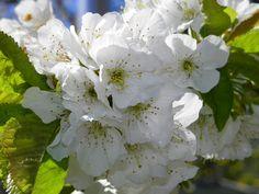 Bloesem van de kersenboom  #bloesem #kersen #kersenboom