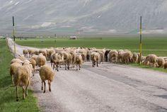 Pecore sul Piano Grande di Castelluccio di Norcia (Umbria, Italy) - Sheep grazing © Pietro D'Antonio