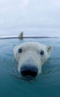 Everybody loves Polar Bears.