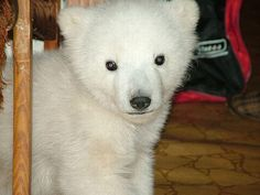 This sweet polar baby bear was rescued on Chukchi Peninsula after his mother was killed by poachers. The cub was hiding and nearly died of hunger until he was sheltered by people.