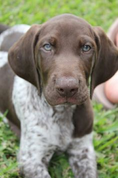 Sweet German Shorthaired Pointer