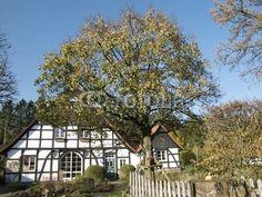 Herbstlicher Baum vor einem Fachwerkhaus in Lipperrreihe bei Bielefeld im Teutoburger Wald in Ostwestfalen-Lippe