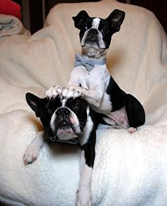 Haha Boston terrier pile Up Funny Dogs, Cute Dogs, Funny Animals, Cute Animals, Boston Bull Terrier, Dogs And Puppies, Doggies, Mans Best Friend, Dog Pictures