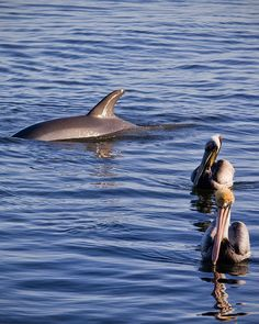 Pelicans and dolphin