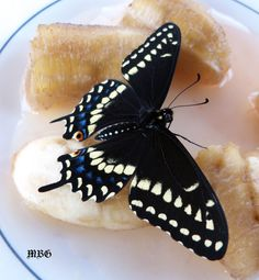When nectar flowers are not in bloom, bananas soaked in #gatorade will have to do! #blackswallowtail
