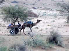 Camel Cart ride