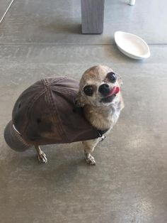 Once again, scientists at the Institute for Applied Irresponsibility have given the world something it never asked for. This time it's the Turhuahuaver, a turtle/chihuahua/beaver hybrid that can pull its head into its shell and yap the whole dam day.