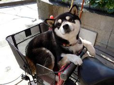 My ideal partners in crime. a shiba inu and a good bicycle Animals And Pets, Baby Animals, Funny Animals, Cute Animals, Chien Shiba Inu, Cute Puppies, Dogs And Puppies, Pet Dogs, Dog Cat