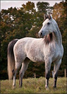 shagya arabian | Northeast Shagyas: About Shagya Arabians