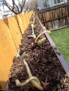 Grow strawberries in a gutter...: Gutter Gardening
