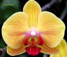 Yellow Orchid Close-up