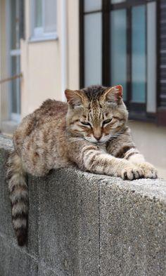 2017/7/9:Twitter:@aoshima_cat : 暑い夏の日となりました。 風通しのいい、日陰で猫たちは寝ています。 塀の上で寝ているキジ猫です。 寝顔が可愛いです。