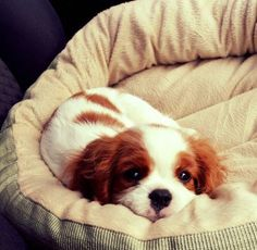Some of the things I like about the Fun Cavalier King Charles Spaniel Pup Little Puppies, Cute Puppies, Cute Dogs, Dogs And Puppies, Doggies, Chihuahua Dogs, Rei Charles, Cavalier King Charles Spaniel, Baby Animals