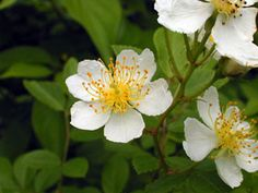 Kansas Wildflowers and Grasses - Multiflora rose