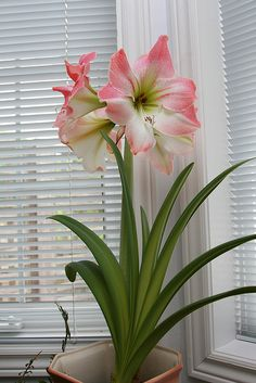 Appleblossom Amaryllis by sunder1025, via Flickr